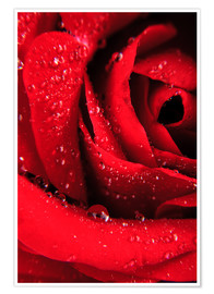 Poster Red rose with water drops