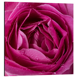 Alu-Dibond  Pink rose with water drops