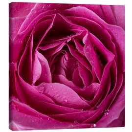Toile  Pink rose with water drops