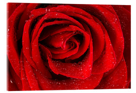 Tableau en verre acrylique  Red rose with drops of water
