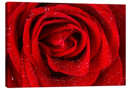 Tableau sur toile  Red rose with drops of water