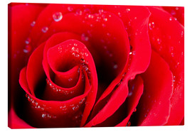 Toile  Red rose bloom with dew drops