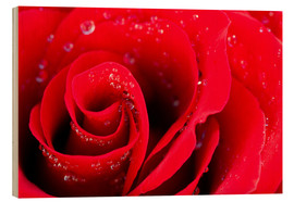 Bois  Red rose bloom with dew drops