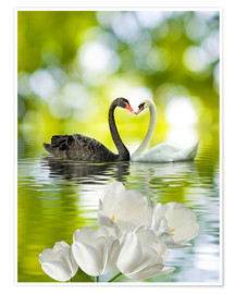 Poster  Two swans in love