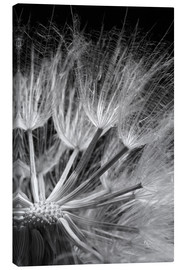 Toile  Dandelion on black background