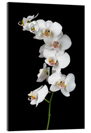 Verre acrylique  White orchid on a black background