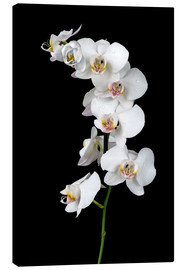 Toile  White orchid on a black background