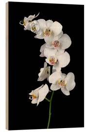 Bois  White orchid on a black background