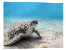 Verre acrylique  Green sea turtle