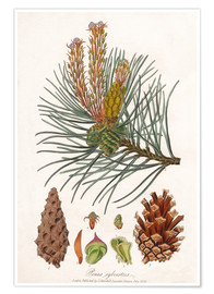 Poster  structures of the Scots pine (Pinus sylvestris)