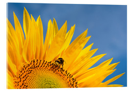 Tableau en verre acrylique  Sunflower against blue sky - Edith Albuschat