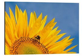 Tableau en aluminium  Sunflower against blue sky - Edith Albuschat