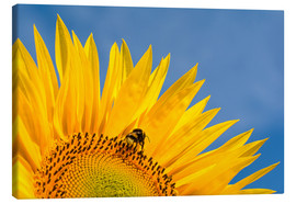 Tableau sur toile  Sunflower against blue sky - Edith Albuschat
