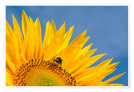 Poster  Sunflower against blue sky - Edith Albuschat