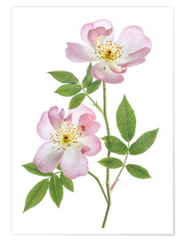 Poster  Pink Roses - Mandy Disher
