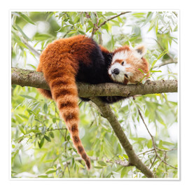 Poster  Red Panda resting in a tree