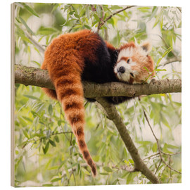 Bois  Red Panda resting in a tree