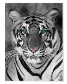 Poster  Tigre aux yeux turquoises