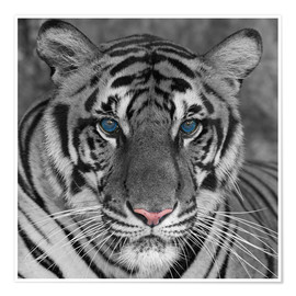 Poster  Tiger with color accents