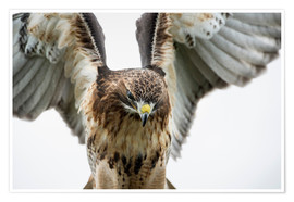 Poster  Red-tailed hawk (Buteo jamaicensis), bird of prey, England, United Kingdom, Europe - Janette Hill