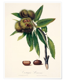Poster  Sweet chestnut, 19th century illustration