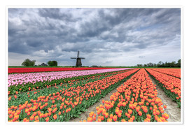 Poster Dark clouds over fields of multicolored tulips and windmill, Berkmeer, Koggenland, North Holland, Ne