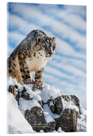 Verre acrylique  Snow leopard (Panthera india) - Janette Hill