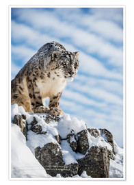 Poster  Snow leopard (Panthera india) - Janette Hill