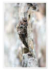 Poster  Little owl (Athene noctua) perched in stone barn, captive, United Kingdom, Europe - Ann & Steve Toon