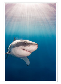 Poster  Grand requin blanc - Dave Fleetham