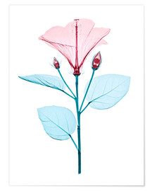 Poster  Chinese hibiscus flower, X-ray - Brendan Fitzpatrick