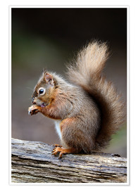 Poster  Red squirrel grooming - Colin Varndell