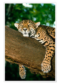 Poster  Jaguar resting in a tree - William Ervin