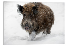 Alu-Dibond  Wild boar - Louise Murray
