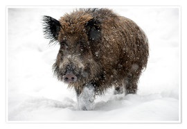 Poster  Wild boar - Louise Murray