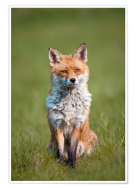 Poster Red fox