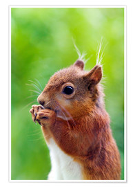 Simon Fraser - Red squirrel