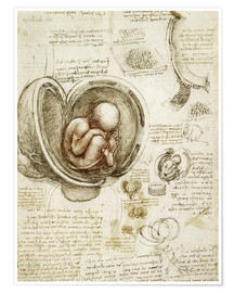Leonardo da Vinci - Studies Of Embryos