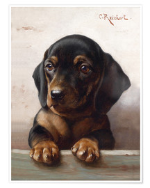 Poster Young dachshund