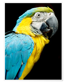 Poster  beautiful Blue and yellow macaw