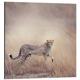 Tableau en aluminium  Cheetah on the hunt