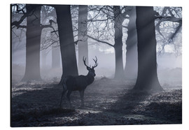 Tableau en aluminium  A male red deer stag waits in the early morning mists of Richmond park, London. - Alex Saberi