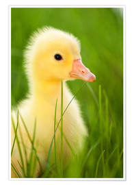 Poster  Duckling