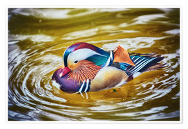 Poster  Mandarin duck splashing
