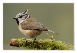 Poster Crested Tit in Moos
