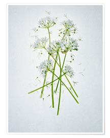 Poster  Allium ursinum, medicinal herb - Axel Killian