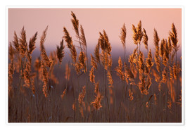 Poster Reeds in dawn