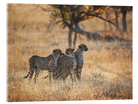 Verre acrylique  A group of Cheetah, Acinonyx jubatus, on the lookout for a nearby leopard in Namibia's Etosha N - Alex Saberi