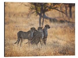 Tableau en aluminium  A group of Cheetah, Acinonyx jubatus, on the lookout for a nearby leopard in Namibia's Etosha N - Alex Saberi
