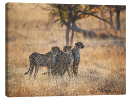 Toile  A group of Cheetah, Acinonyx jubatus, on the lookout for a nearby leopard in Namibia's Etosha N - Alex Saberi